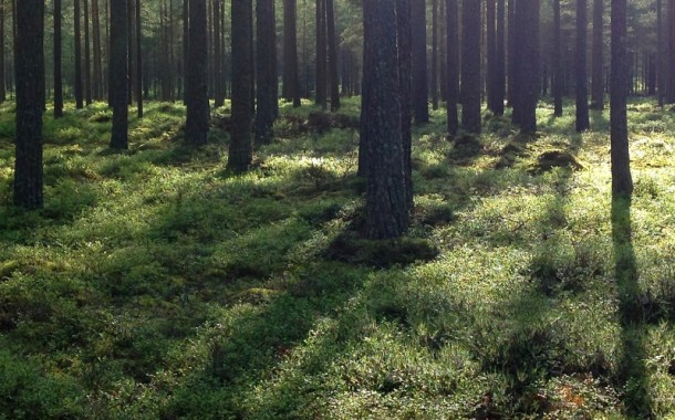 Dåligt lingonår i svenska skogarna