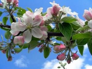 328660-blommande-frukttrad