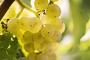 För alla vinälskare – Tidigaste skörden någonsin i Tyskland